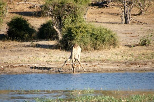 Eine Giraffe in ihrer unverkennbaren Getränke-Haltung